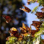 Alarmante: disminuye población de monarcas en santuarios del país
